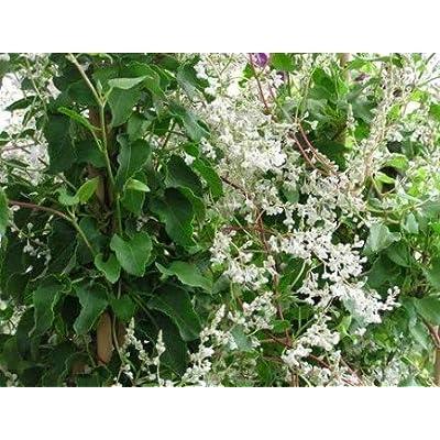 Cheap Fresh Vine Seeds Polygonum Aubertii Silverlace Get 5 Seeds Easy Grow #GRG01YN : Garden & Outdoor