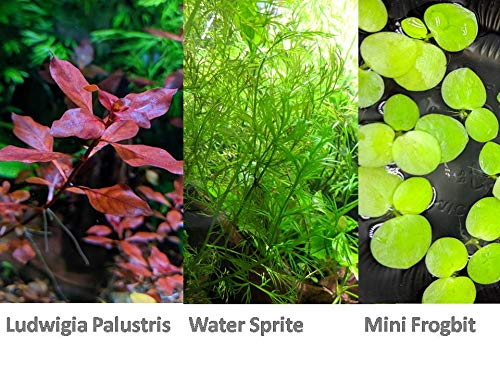 13 Stems, 3 Species Live Aquarium Plants. Red Ludwigia+Water Sprite+Mini Frogbit