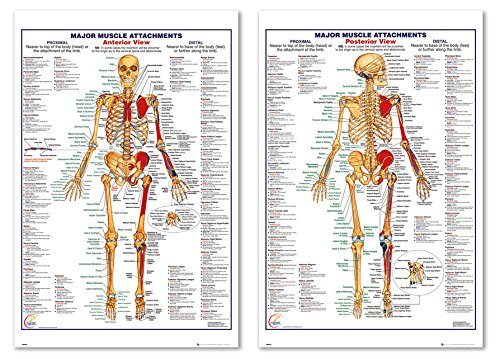 The Human Body - Medical/Educational Poster Set (Major Muscle Attachments - Posterior & Anterior View) (Size: 24 inches x 36 inches)