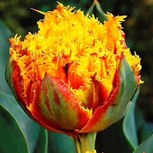 (SILKSART 5 Tulip Bulbs Perennial Bulbs for Garden Planting Beauty Flower--SHIPPING NOW!!!)
