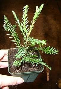 Amazon Com 3 Fast Growing Baby California Redwood Tree