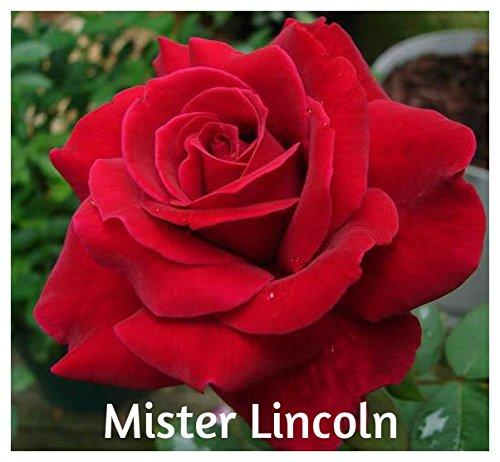 10 Mister Lincoln Hybrid Tea Rose Seeds