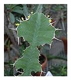 Euphorbia grandicornis - Cow Horn Euphorbia - 5 seeds