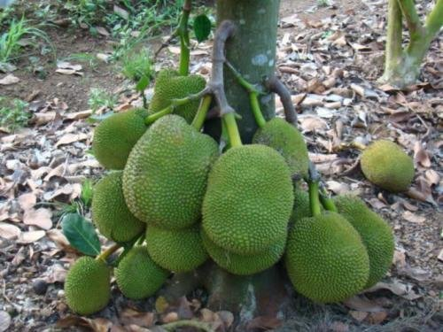 Red Jackfruit Tree plant grafted Tall 22'' jack tree jakfruit delicious Thailand
