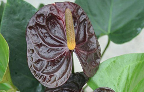 Anthurium Dark Chocolate - Live House Plant - Easy to Grow - Florist Quality - Cleans the Air by Florida Foliage (Image #2)