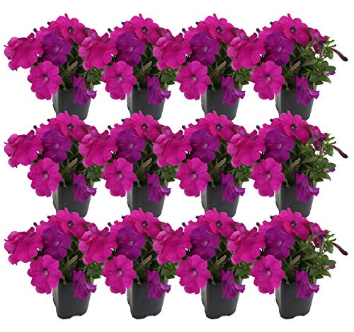 Costa Farms Petunia Live Outdoor Plant 1 PT Grower's Pot, 12-Pack, Purple by Costa Farms (Image #2)