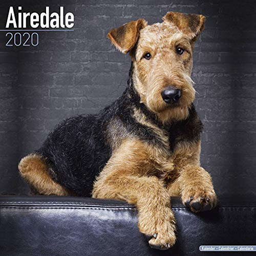 Airedale Calendar - Dog Breed Calendars - 2019 - 2020 Wall Calendars - 16 Month by Avonside (Multilingual -