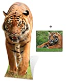 Tiger - Wildlife/Animal Lifesize Cardboard Cutout / Standee / Standup - Includes 8x10 (20x25cm) Star Photo