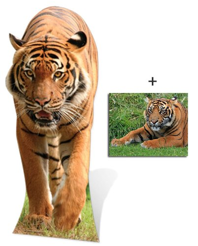Tiger - Wildlife/Animal Lifesize Cardboard Cutout / Standee / Standup - Includes 8x10 (20x25cm) Star Photo