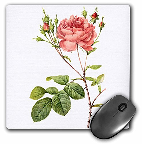 3dRose 8 X 8 X 0.25 Redoute Vintage Watercolor Floral Cumberland Rose Rosa Centifolia Angelica Rubra Mouse Pad ()