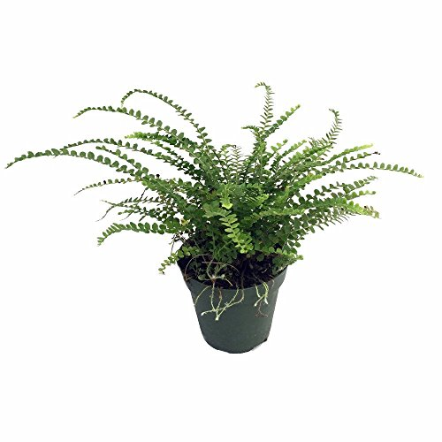 "Lemon Button Fern - 4"" Pot - Nephrolepis cordifolia Duffii - Live Plant"