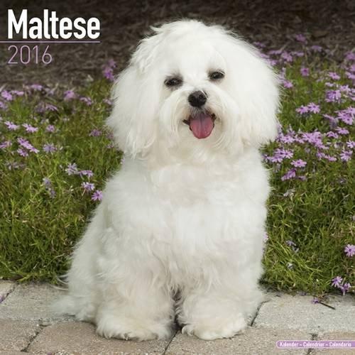 Maltese Calendar - Only Dog Breed Maltese Calendar - 2016 Wall calendars - Dog Calendars - Monthly Wall Calendar by Avonside by AVONSIDE (Image #4)