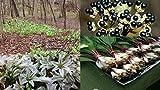 HEIRLOOM NON GMO Wild Leek 15 seeds