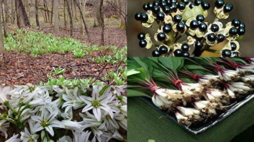 HEIRLOOM NON GMO Wild Leek 15 seeds
