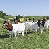 "Premier Enhanced 40"" Electric Sheep & Goat Net Fence, Green/Black, 9/40/6EG"