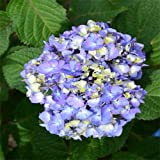 Endless Summer Bloomstruck Hydrangea Shrub