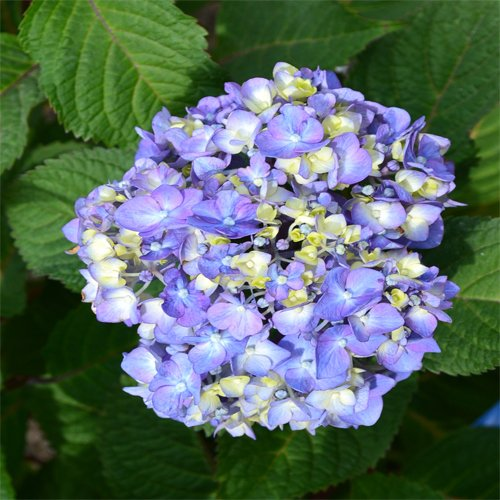 Endless Summer Hydrangea - Endless Summer Bloomstruck Hydrangea Shrub