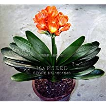 1 Pcs Gorgeous Clivia flower seeds (Kaffir Lily ),semenatsvety room flowers, beautiful ,rare real seeds, guranteed 1 Orange Clivia seed