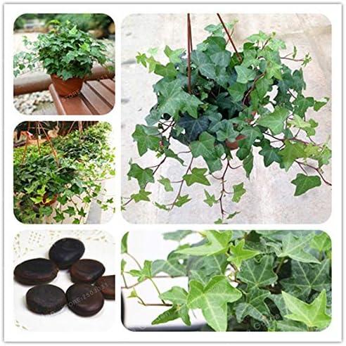 Pinkdose Hedera nepalensis Bonsai 2 Pcs china Ivy Bonsai bricolaje ...