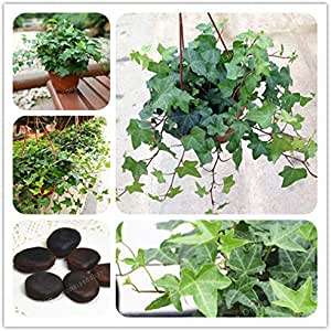 Pinkdose Hedera nepalensis Bonsai 2 Pcs china Ivy Bonsai bricolaje ...