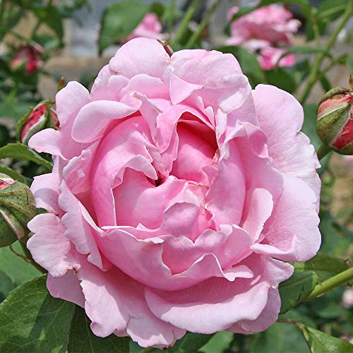 Own-Root One Gallon Memorial Day Hybrid Tea Rose by Heirloom Roses by Heirloom Roses (Image #1)