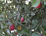 10 Seeds Cryptocarya wyliei Red Quince Fruit Tree
