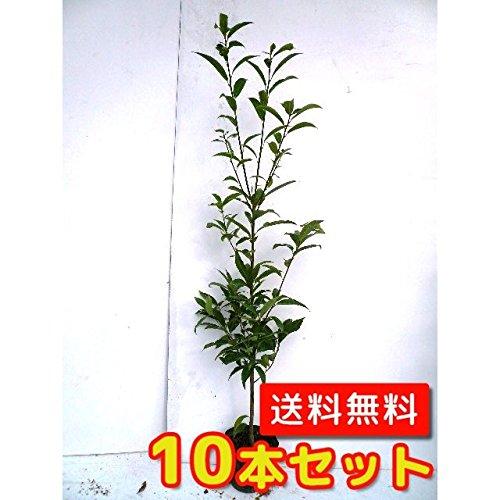 【ノーブランド品】シラカシ樹高1.2m前後15cmポット【10本セット】 B00W4VWN3A