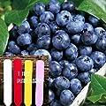Heirloom Highbush Blueberry (Organic) 125+ Seeds 647923989465 Self Fertile + 1 Free Plant Marker