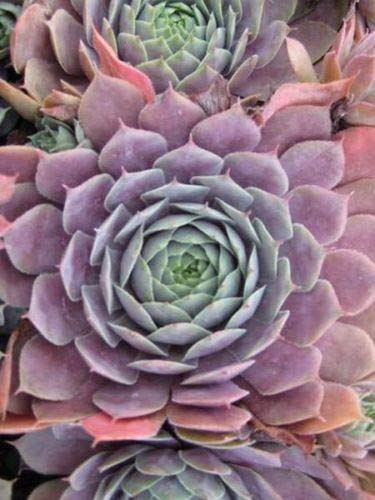 - Purple Beauty- Hen and Chick Hardy Plant Succulent-Zone 3 to 9 Ready