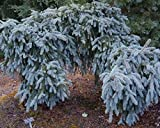 'The Blues' Weeping Blue Spruce - Live Plant - Trade Gallon Pot