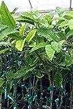 Nippon Orangequat Tree, Mandarin Kumquat Hybrid Citrus (Excludes: CA,TX,LA,AZ)