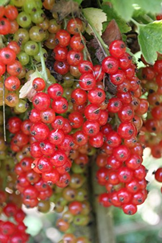 Johannisbeere Heinemanns rote Spätlese, Hoch-Stamm im 4 Liter Topf, Stammhöhe 90 cm