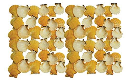 Quality Selected Seashells - 20 Grams shells - Pecten Vexilium (Orange) / Distant Scallop for Seashell Vases, Seashell Boxes, Seashell Frames, Seashell Jewelry Making & Mini Garden Miniture