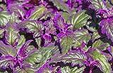 2 Beautiful Gynura Aurantiaca (Purple Velvet) - Live Plant