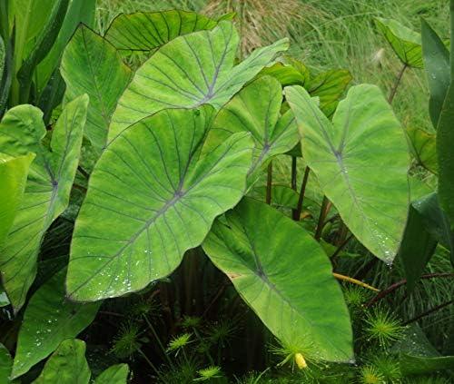 ~BLUE HAWAII~ Colocasia esculenta ELEPHANT EAR PLANT Live small potted Starter