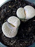 Lithops terricolor. Live Rooted Succulent Plant.