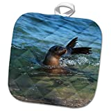 3dRose Danita Delimont - Seals - USA, California, La Jolla. Sea Lion in water. - 8x8 Potholder (phl_278582_1)