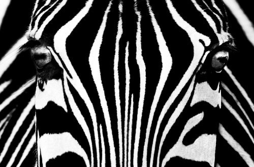 (Giant Art XXL-Poster Black & White I Photo, mural, wall posters, large format, 117x115 cm, zebra, face, front, strip, portrait, by Ideal Decor)