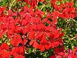 Home Comforts Laminated Poster Red Flowers Geranium Pelargonium Grandiflorum Poster Print 24 x 36