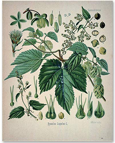 Hops Plant - 11x14 Unframed Art Print - Makes a Great Gift Under $15 for Home Brewing Beer Makers, Home Bar or Man Cave Decor