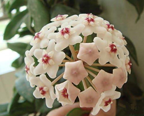 semillas Hoya, semillas, plantas de jardín en maceta hoya carnosa de semillas de flores, la plantación perenne: Amazon.es: Jardín