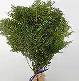Tin Roof Treasure Fresh Cedar Boughs, 8'-13', Pack of 25