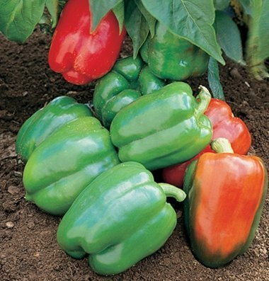 David's Garden Seeds Pepper Bell Yankee D566 (Red) 25 Organic Seeds