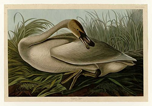 The Museum Outlet - Audubon - Trumpeter_Swan - Plate 376 - Poster Print Online (24 x 18 Inch) ()