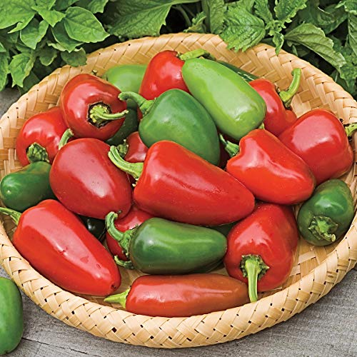 Pepper Hot Hybrid (Burpee Bike Bily' Hybrid Hot Jalapeno Pepper 3 Live Plants | 2 1/2 Inch Pot)