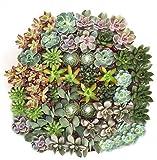 Shop Succulents Assorted Succulent (Collection of 140)