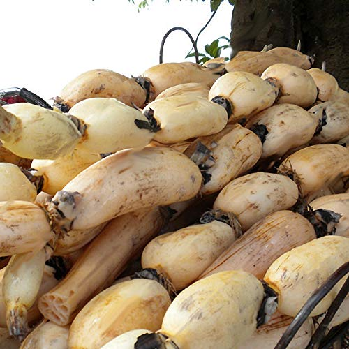 (Egrow 5pcs/Bag Lotus Root Seeds Chinese Vegetable Lotus Root Seeds Aquatic Vegetable Plants Seeds)
