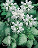 White Nancy Spotted Creeping Lamium - Perennial - Quart Pot