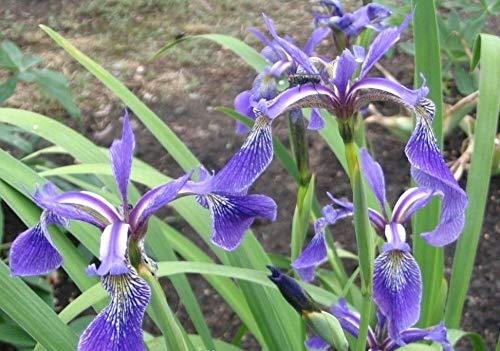 Portal Cool 1 LTR: Iris versicolor - Dark Aura - Plantas de ...