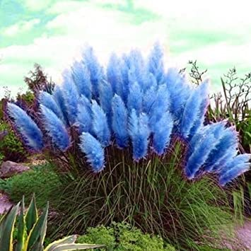 Amazon 1000 sky blue pampas grass seeds ornamental grass 1000 sky blue pampas grass seeds ornamental grass flowering perennial workwithnaturefo